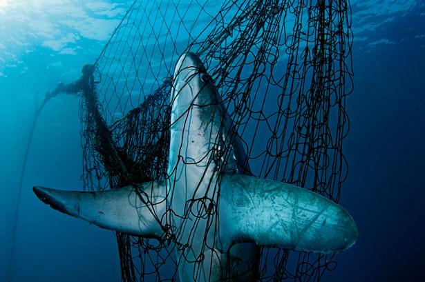 shark-net-615