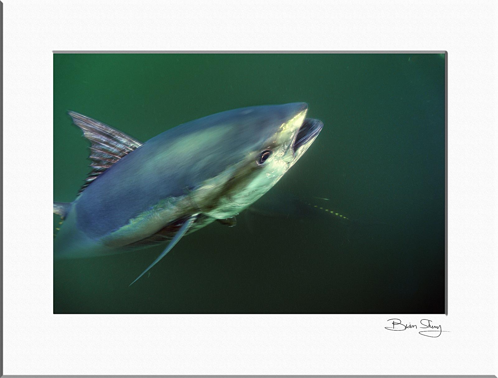 Bluefin Tuna - Brian Skerry Photography